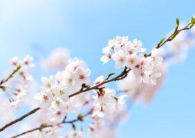 桜染めとCiliegio